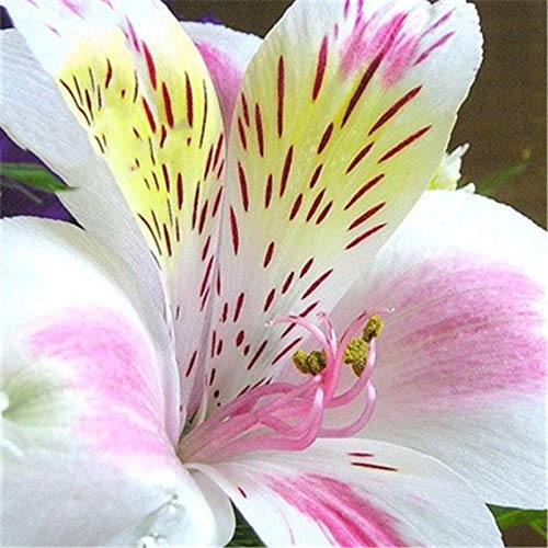 KINGDUO Egrow 100Pcs/Pack Lily Seeds Peruana Lily Alstroemeria Bonsai Plantas Hermosa Flor Delirio para El Hogar & Jardín Decoración-1