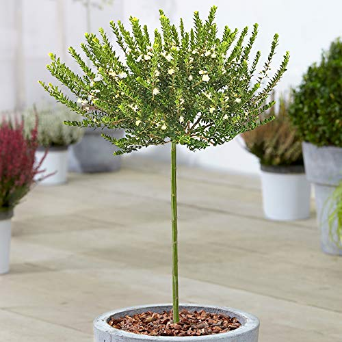 Myrtus Tarentina Tree | Evergreen Ornamental Potted Trees for Small Gardens | Premium Lollipop Standard Straight Stem Plant (70-80cm (Incl. Pot))