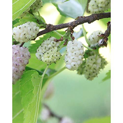Obstpflanze - Weiße Maulbeere/Maulbeerbaum - Morus alba - Moraceae / 80-100 cm