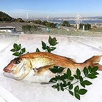 旬の真鯛 1枚 1kg(原体) 淡路島産 兵庫県産 血抜き・内臓鱗除去済み 料亭卸品質 あわじ島の活魚を絞めて出荷いたします