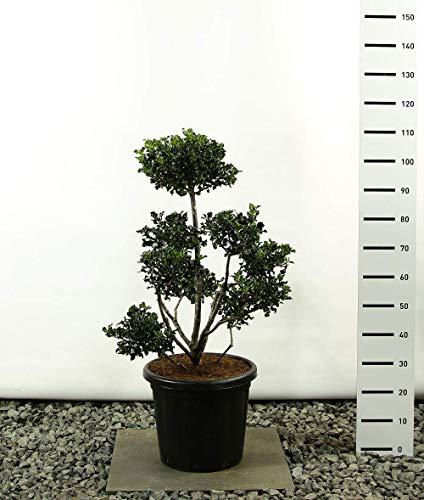 Modernes Formgehölz Stechpalme - Ilex meserveae `Blue Angel´ POM POM - verschiedene Größen (80-100cm - Topf Ø 38cm - 18Ltr. - MULTIPLATEAU)