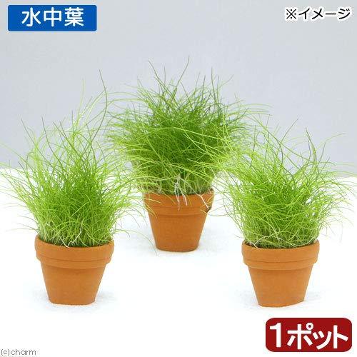(水草)プチ素焼き鉢 ヘアーグラス ショート(水中葉)(無農薬)(1鉢) 北海道航空便要保温