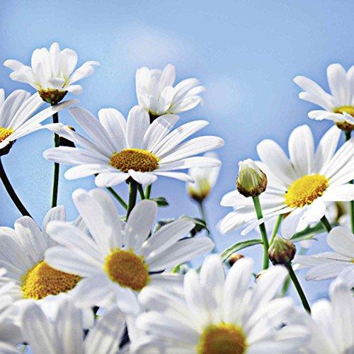 Artland Qualitätsbilder I Glasbilder Deko Glas Bilder 50 x 50 cm Botanik Blumen Margerite Foto Weiß D8SG Blumen - Margeriten