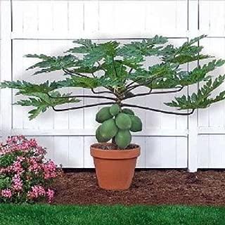 Brand New! Bonsai plant Dwarf Papaya Seeds ~ TR HOVEY ~ Carica L. Caricaceae ~ MINIATURE TREE AA