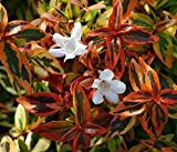 Kaleidoscope Abelia Grandiflora - Live Plant - 3 Gallon Pot