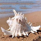 Flashing Artesanía Natural 15-16cm Conchas náuticas de la Reina Muebles para el hogar decoración del mar Marino Concha Adornos para pecera decoración del hogar