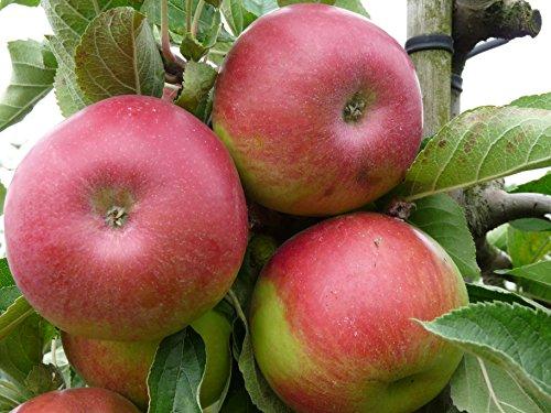 Apfel Idared Busch im 7,5 l Topf, 60 cm Stammhöhe