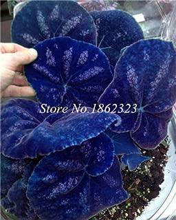 Kasuki 200pcs Rare Coleus Blumei Plant,Rare Flower Bonsai Potted Begonia Plants for Garden Balcony Coleus Plant for Sale - (Color: 21)