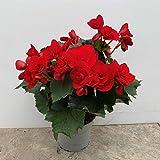 Begonia eliator - planta natural - maceta 13cm. - altura total aprox. 30cm. - apta para interior y exterior - (envíos solo a península)