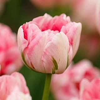 finola double late tulip
