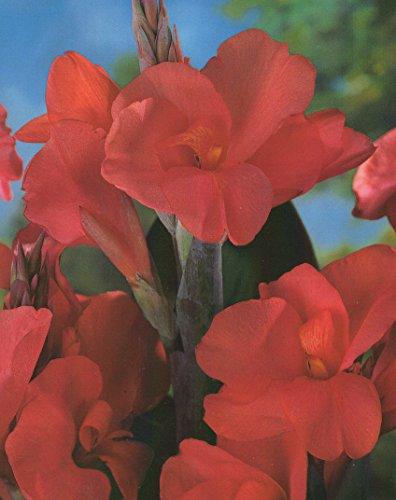 Riesen Canna Eden Blumenrohr Rhizom Blumenzwiebeln (1 Canna (Rhizom)