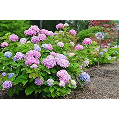 Endless Summer Hydrangea- Large, Well-Developed Plants for Instant Hydrangea Blooms (not seeds, quarts or saplings)- The Most Popular Hydrangea Macrophylla