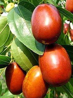 Chinese Li Jujube Fruit Tree