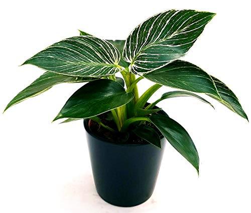 PHILODENDRON BIRKIN WHITE MEASURE, pianta vera