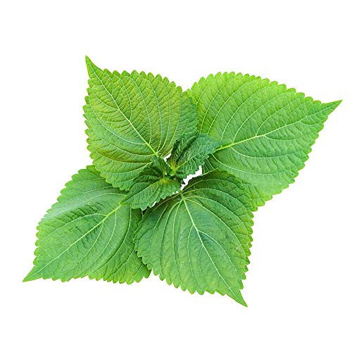 Zweifarbige Perilla-Samen Big Leaf Perilla Balkon Topfgemüse Four Seasons Seeds 300