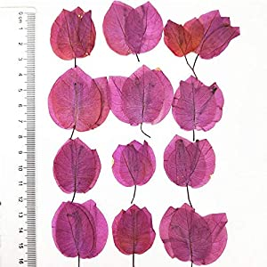 Artificial and Dried Flower Brazil Bougainvillea Petals Dried Flower 1 Lot/80pcs for Kids DIY Handmade Class – ( Color: Rose )