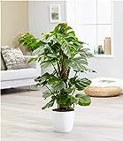 BALDUR Garten Monstera - Fensterblatt ca. 50 cm hoch, 1 Pflanze Pflegeleichte Zimmerpflanze auch für dunklere Standorte Zimmerpflanze
