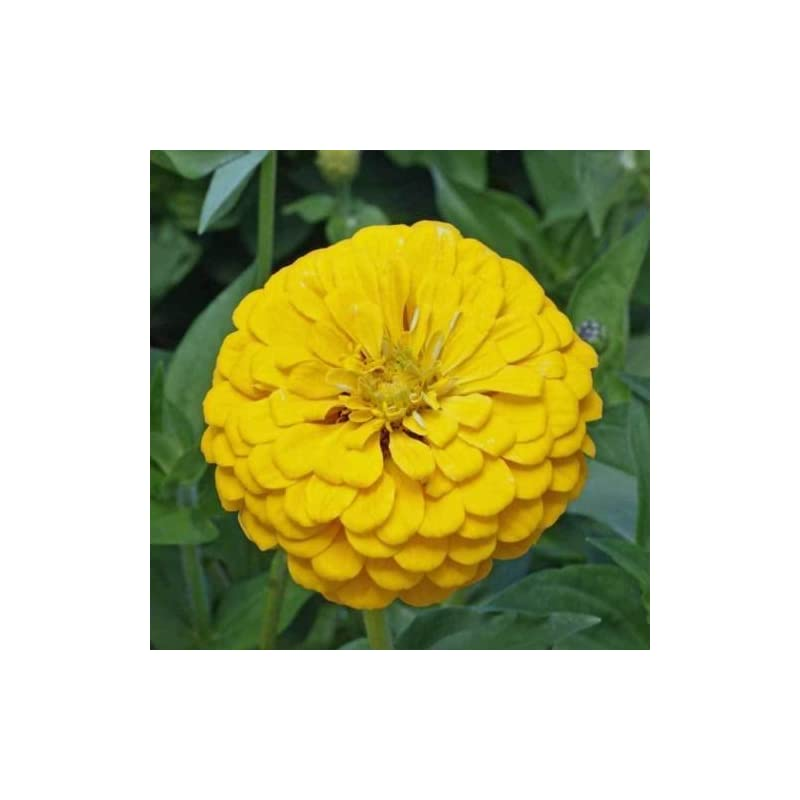 silk flower arrangements (100pcs seeds) canary bird zinnia 100 seeds large bright yellow colored blooms for your garden