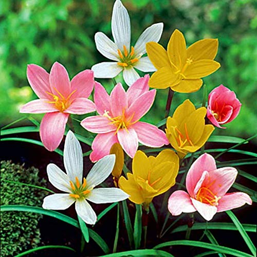 (8 Bulbs) Mix Rain Lily Bulbs Garden Beautiful Bonsai Potted Landscape Home Pretty Flowers Fragrant