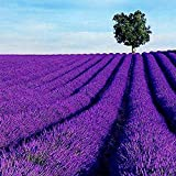 LEANO Rare Lavender Seeds Bonsai Planting Flower Home Garden Decor Flowers Non-GMO Seeds Organic Purple Open-Pollinated Heirloom