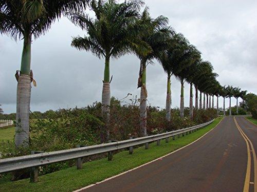 Cuban Royal Palm, Roystonea Regia, 10 graines