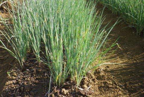 Fresh Welsh Bunching Onion - 500 Seeds -...