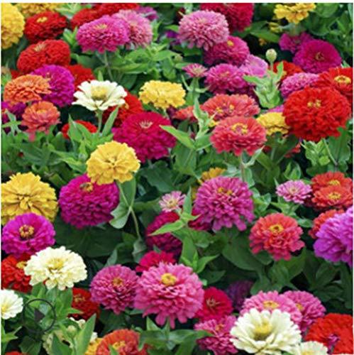 Lankfun Plantas Coloridas Semillas,Zinnia Especies de Flores Cuatro Estaciones jardín de Flores combinación de Flores Silvestres-Colores Mezclados 250g,Semillas de Flores Multicolores