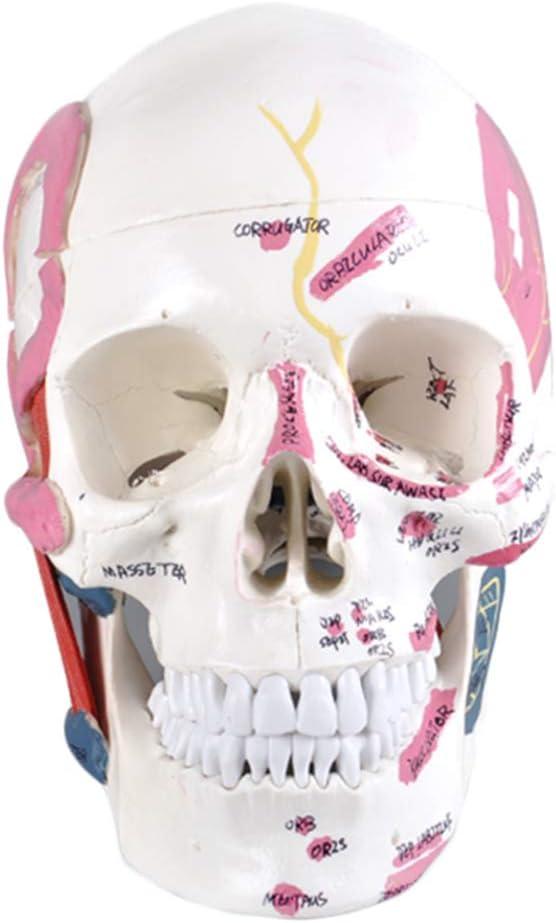 K99 Dental Muscle Display Nashville-Davidson Mall Model Human Anatomical Skull - Max 60% OFF
