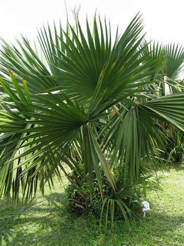 vegherb Sabal Minor - Zwerg Palmetto - 10 Samen