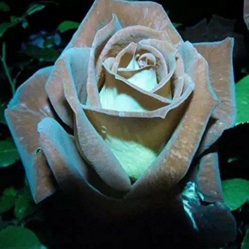 150PCS Rose Flower Seed Hollande Rose Graines amant cadeau arc-RARE 25 exotiques couleurs au choix de bricolage pour les plantes de jardin à la maison 10