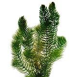 Hornblatt Hornkraut - 6 Stück - Winterharte Klärpflanze - Ceratophyllum demersum - Sauerstoffpflanzen für den Teich - Wasserreinigende Teichpflanzen