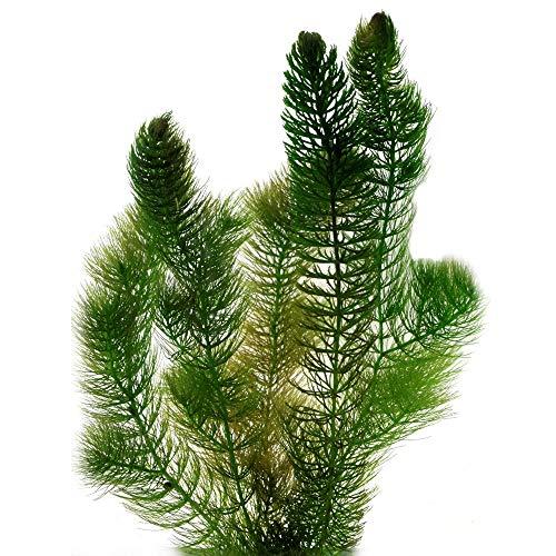S VD VELDE WATERPLANTEN Hornblatt Hornkraut - 6 Stück - Winterharte Klärpflanze - Ceratophyllum demersum - Sauerstoffpflanzen für den Teich - Wasserreinigende Teichpflanzen