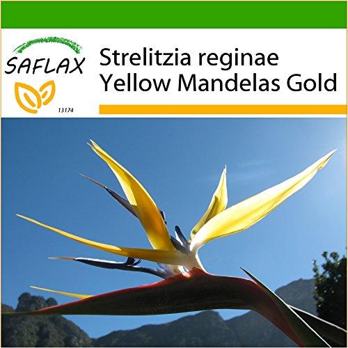 SAFLAX - Oiseau de paradis jaune - Mandelas Gold - 4 graines - Avec substrat - Strelitzia reginae Yellow
