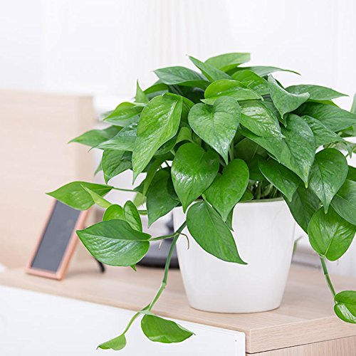 good01 100 Stücke Scindapsus Pflanzen Samen | DIY Garten Hof Pflanzen Topf Bonsai Dekor