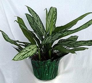 Silver Queen Plant - Aglaonema - 6