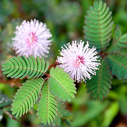 25Pcs Colorful Mimosa Tree Seeds Silk Tree Flower Garden Decor
