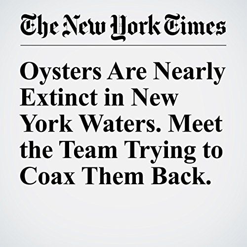 Oysters Are Nearly Extinct in New York Waters. Meet the Team Trying to Coax Them Back. cover art