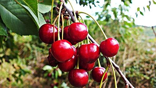 15 Semillas de Cerezo Rojo