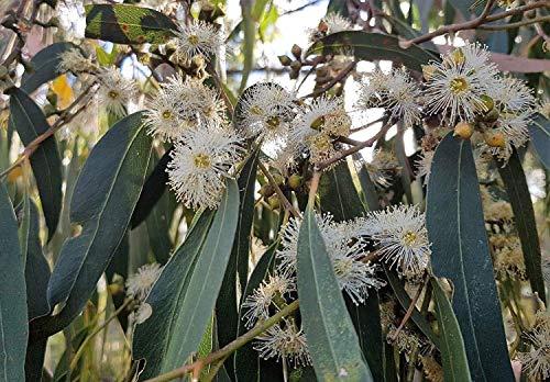 Portal Cool Eucalyptus Viminalis * 50 * au froid graines blanc résistant * Offre Gum Gomme/Manna