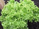 """Endive Seeds """"Green...image"""