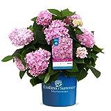 Endless Summer 'The Original' Hortensie , der Klassiker in leuchtendem Rosa , winterhart , mehrjährig , Pflanze für Garten, Terrasse, Balkon oder Kübel