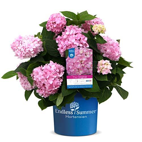 Endless Summer \'The Original\' Hortensie , der Klassiker in leuchtendem Rosa , winterhart , mehrjährig , Pflanze für Garten, Terrasse, Balkon oder Kübel