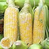 XQxiqi689sy 20Pcs / Bolsa Semillas De Maíz Semillas De Hortalizas Jugosas No Modificadas Genéticamente Nutritivas para El Patio Semillas de maíz Blanco ceroso