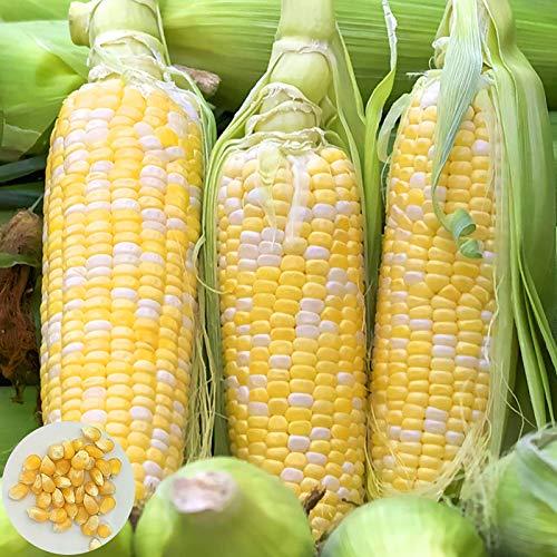 Oce180anYLVUK Semillas De Maíz, 20 Piezas/Bolsa Semillas De Maíz No Transgénicas Jugosas Plantas De Semillero De Hortalizas De Jardín De Su Casa Semillas de maíz blanco ceroso