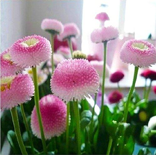 20 graines / paquet Daisy graines de fleurs crème glacée aux fraises parfum graines chrysanthème en pot bonsaï 25