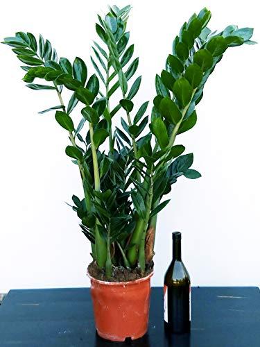 ZAMIOCULCAS XXL, Vaso 22 altezza 110cm, Pianta vera