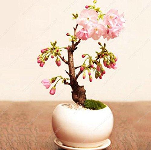 20 pcs graines de sakura bonsaïs ornement bonsaï cerise fleurs des plantes en pot facile à cultiver pour le bricolage jardin maison plantation vert