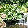 Gunnera Manicata pianta Chiamata Anche Gigante rabarbaro pianta Crescere in Ombra parziale enormi Foglie delle Piante all'aperto nel Giardino di 50 pc/Bag #2