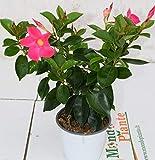 Pianta Dipladenia Rosa, Altezza 30cm