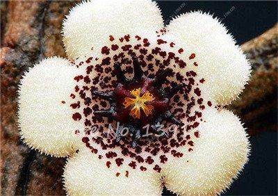 Stapelia Pulchella Graines de peau de léopard Succulentes Lithops fleur 100pcs / sac